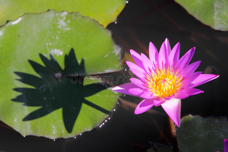 Download Lotus stock image. Image of black, blossom, blooming - 11598353