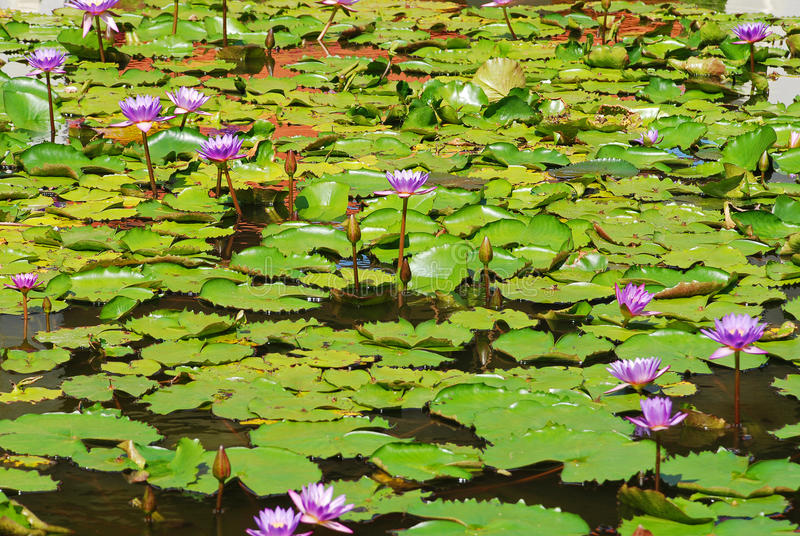 Water lily. Purple water lily in bloom royalty free stock photos