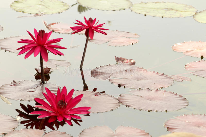 Download Water Lily stock image. Image of organic, growing, beautiful - 15894591