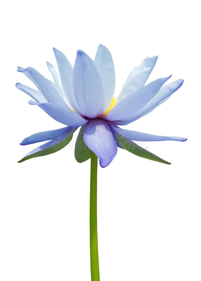 Download Water lily stock photo. Image of beautiful, plant, elegance - 17567590