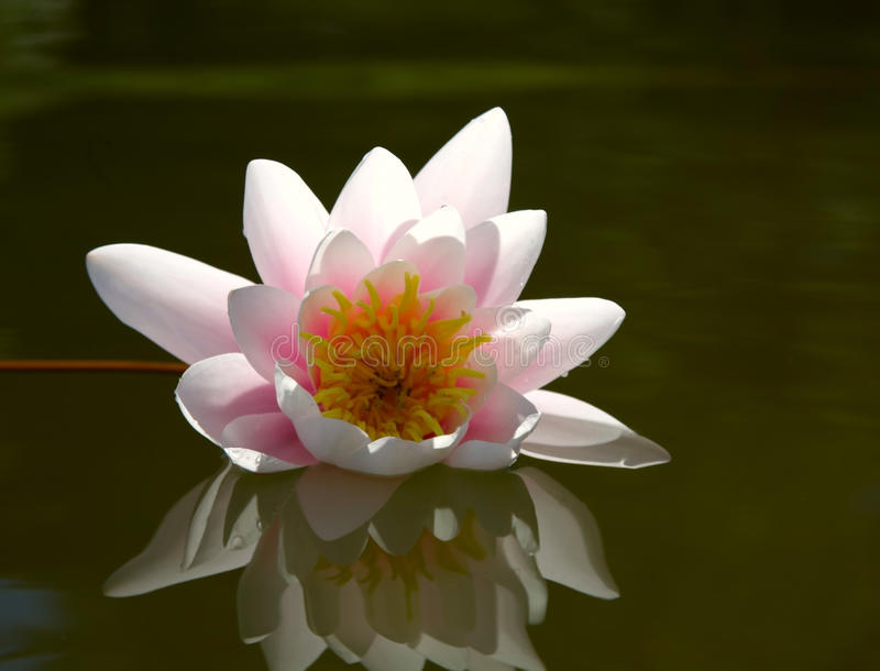 Download Water Lily Stock Photo - Image: 18015730