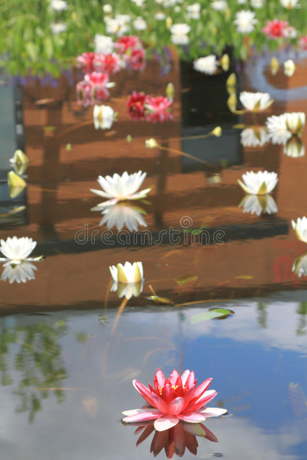 Download Water lily stock photo. Image of petal, bloom, floral - 26596684