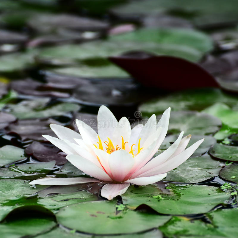 Download Water lily stock photo. Image of aquatic, garden, excellent - 27026482