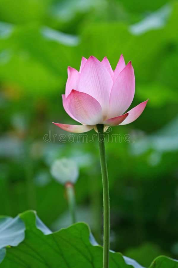 Free Water Lily Stock Images - 5371044