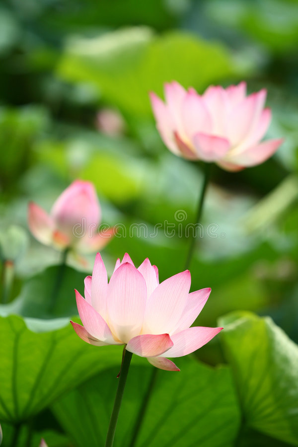 Free Water Lily Royalty Free Stock Photos - 5392028