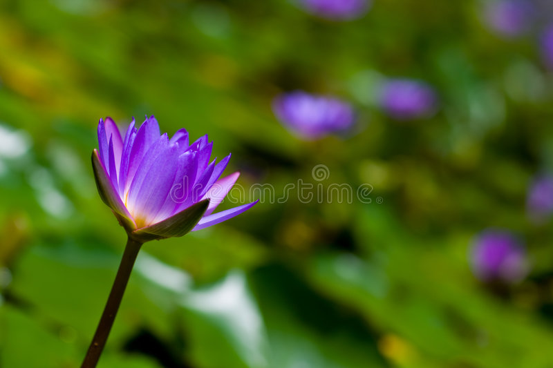 Water lily. Photo of a blooming purple colored water lily royalty free stock images