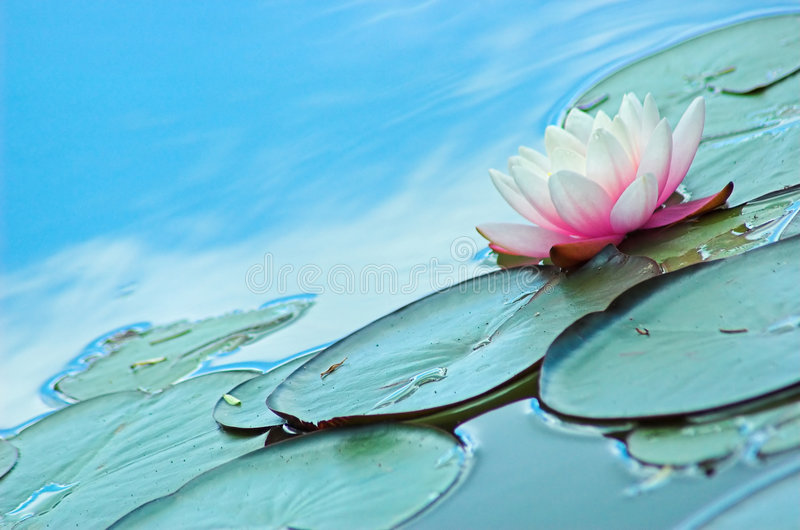 Download Water Lily stock photo. Image of warm, subtle, pond, lotus - 879392
