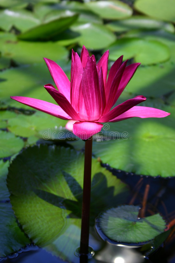 Download Water Lily stock image. Image of flourish, lily, flora, natural - 88963