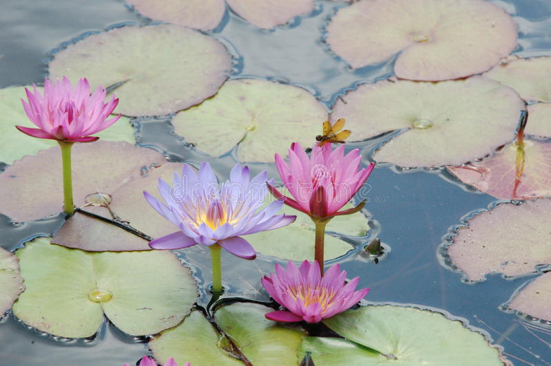 Water Lily. Dragon fly sitting on water lily stock photography