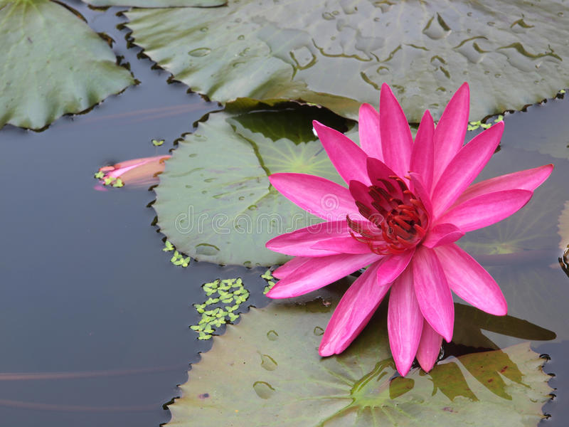 Download Water Lily stock photo. Image of lilies, pond, round, green - 9951052