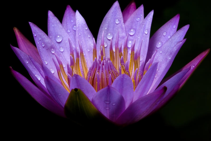 Water lily against dark background. Close-up of a purple water lily with dew royalty free stock images