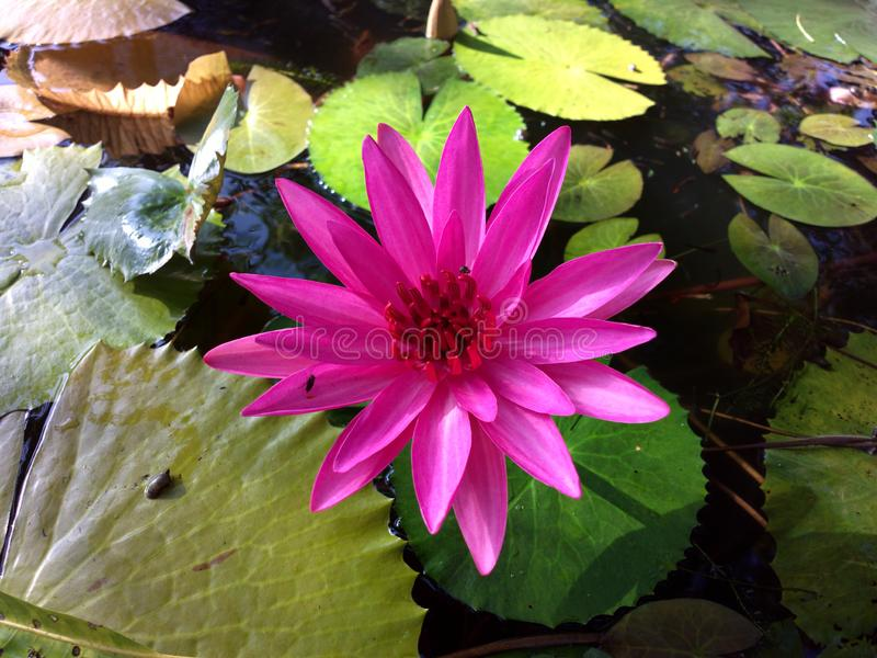 Water lily on the aquarium. Color, green royalty free stock photos