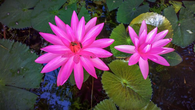 Water lily on the aquarium. Color, red, reen royalty free stock photos