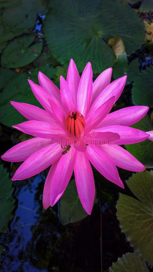 Water lily on the aquarium. Color, red stock image