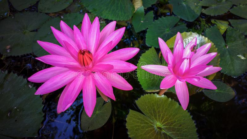 Water lily on the aquarium. Green, olor, color, red stock photography