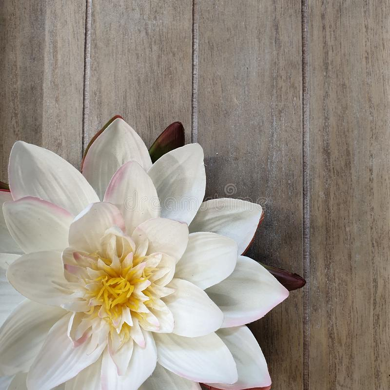 Water Lily Background stock foto
