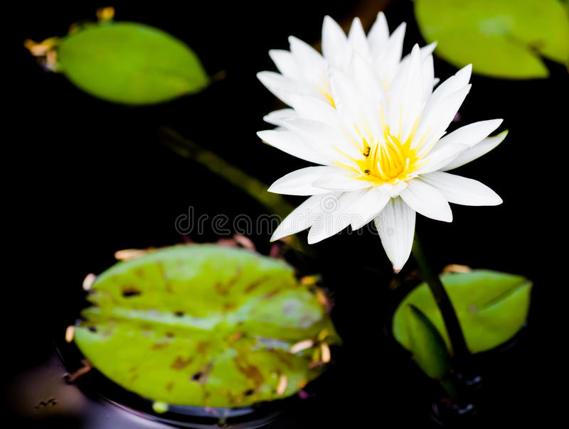 Download Water lily stock photo. Image of deep, blossom, flowers - 32918204