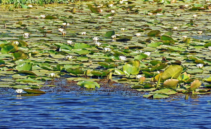Water Lily. Beautiful water lily in Danube Delta royalty free stock photo