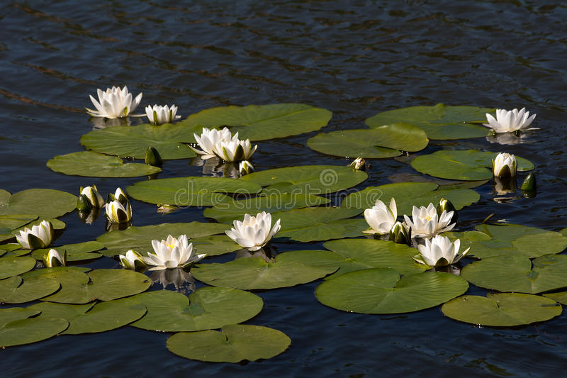 Water lily. Beautiful white water lilies on the water stock images