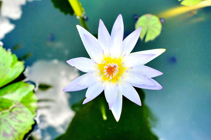 Water lily. Beautiful White Water Lilies in garden royalty free stock photography