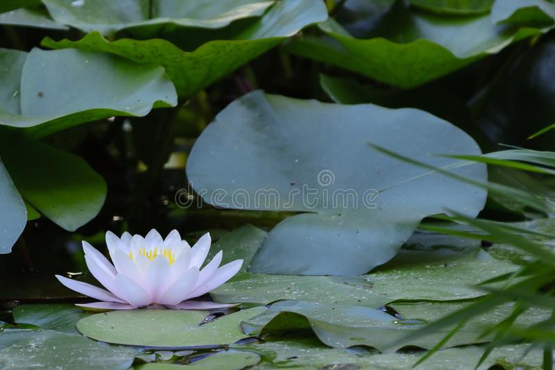 Water lily in the Botanical Garden of Valencia royalty free stock photos