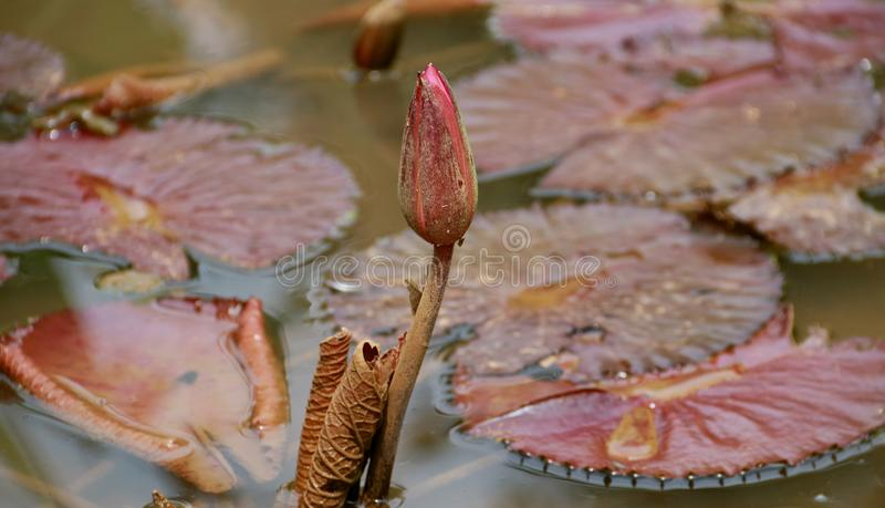 Water lily bud. Pink Nymphaea bud or water lily bud stock photo