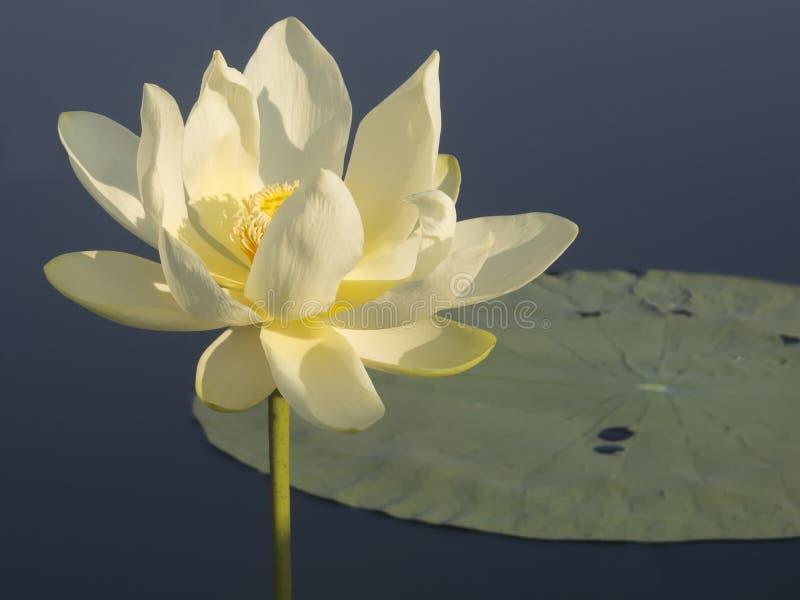 Water lily at Caddo Lake stock photos