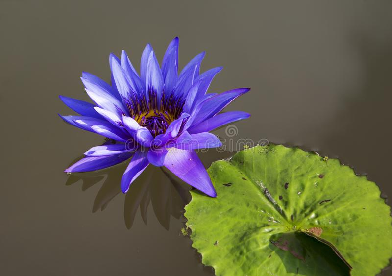 Water lily. Water Lily is a charming and delicate water Lily. Flower stems are immersed deep under water in the ground. It has about 40 species, most of which stock images
