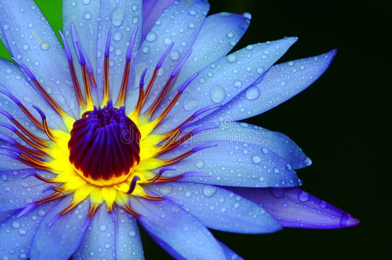 Water Lily Close Up royalty free stock photo