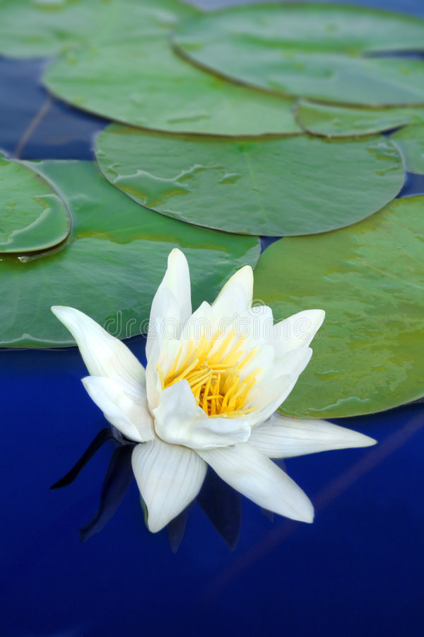 Download Water-lily close-up stock photo. Image of lily, macro - 9008616