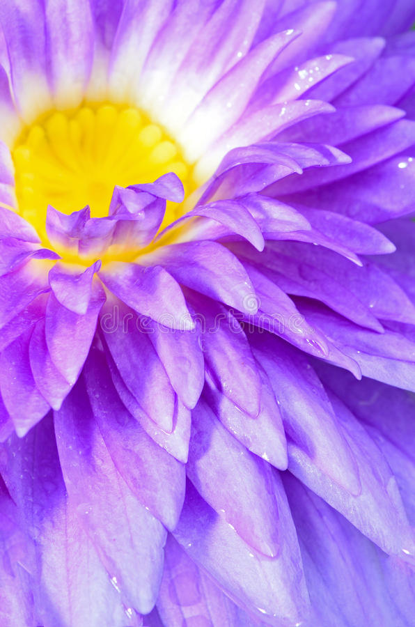 Water lily. Close up of beautiful purple water lily royalty free stock photography