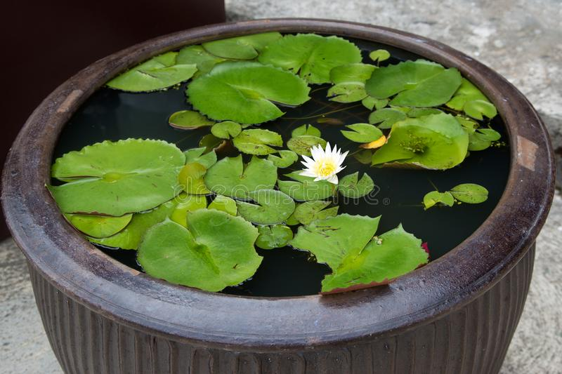 Water lily in a container with water royalty free stock images