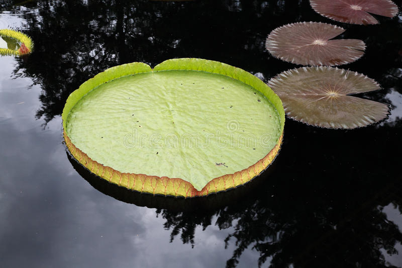 A water lily displayed in a botanical garden stock photo