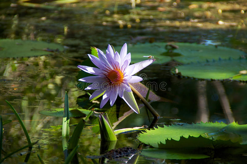 Download Water lily with dragonfly stock photo. Image of dragon - 37097356