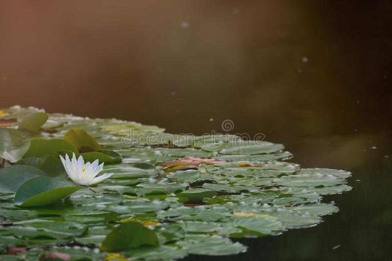 Water lily field with a white flower of a water lily, with intentional sunspots and overexposure in backlighting royalty free stock image