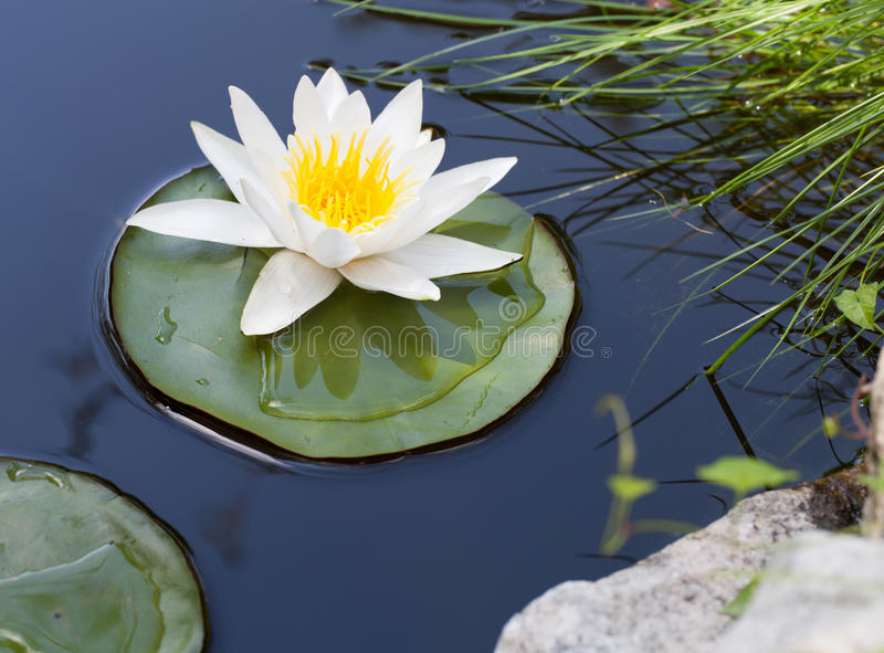 Download Water lily stock image. Image of up, green, bloom, botany - 33327375