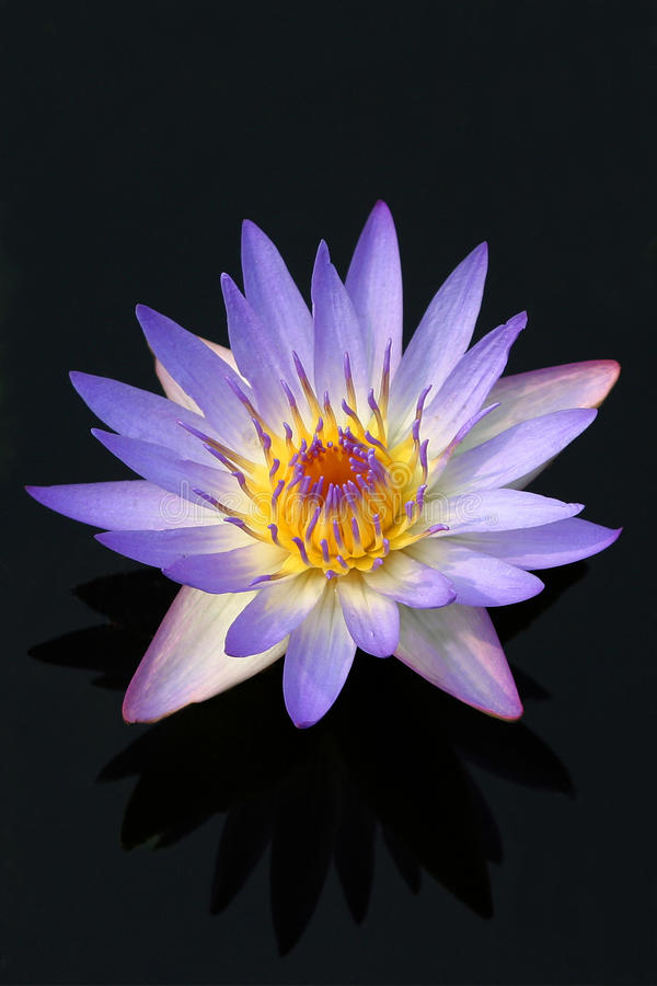Water lily flower. Purple water lily in a pond royalty free stock photos