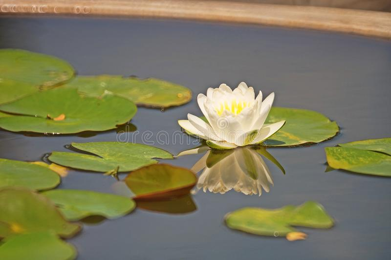 Water lily flower blooming, aquatic flowering plant. Garden decoration royalty free stock photos