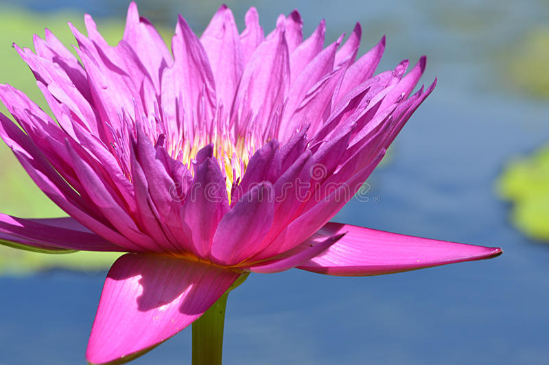 Water lily. Flower with blurred lily pads in the background royalty free stock photos