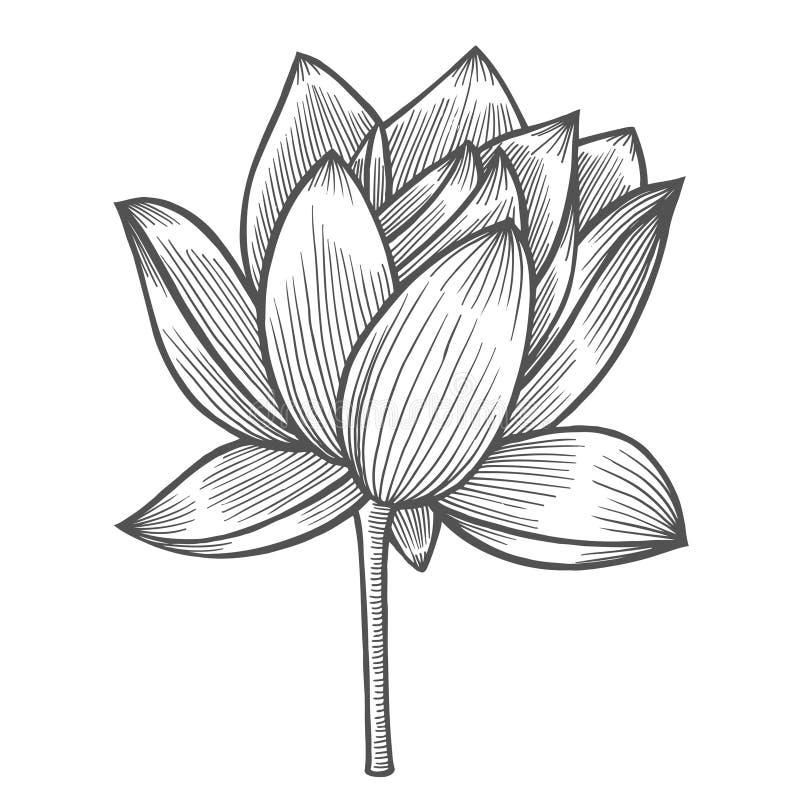 Water Lily flower illustration stock illustration