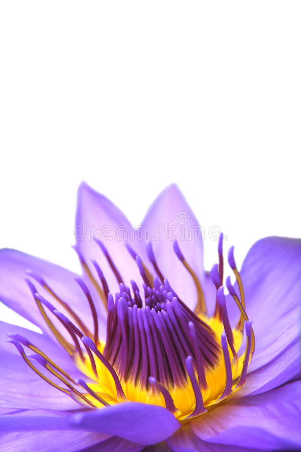 Download Water lily flower on white stock image. Image of elegant - 6900659
