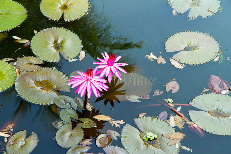 Water lily in the lagoon with reflections of the surrounding rain forest. (Kerala, India royalty free stock images
