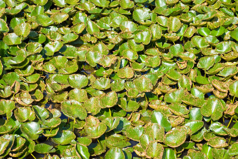 Download Water lily leaves stock photo. Image of bright, close - 25299326