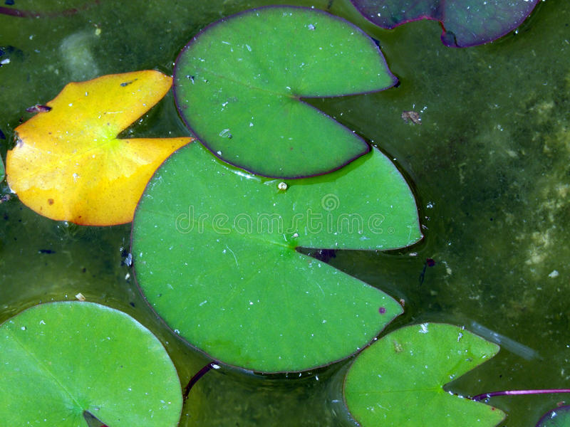 Water Lily Leaves royalty-vrije stock fotografie