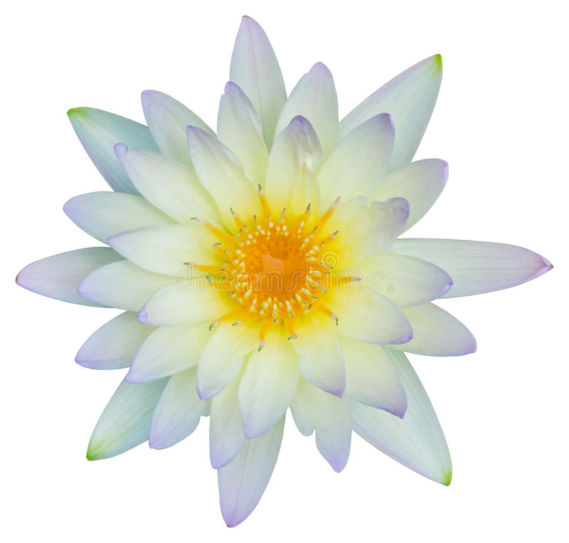 Water lily or lotus flower stock photography