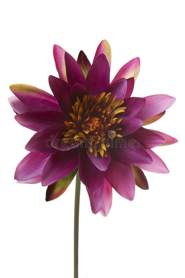 Water Lily maroon artificial flower isolated on white stock images