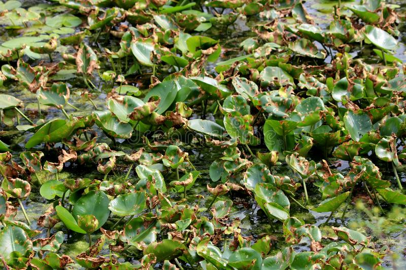 Water lily or Nymphaea aquatic perennial herb plants growing out of small local lake with multiple leaves with many brown spots. Water lily or Nymphaea aquatic stock photo