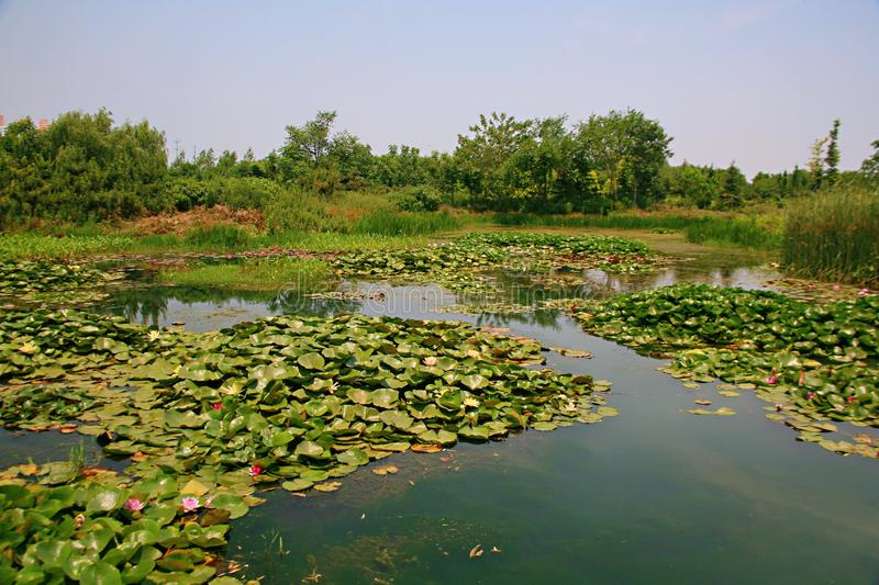 Water lilies. Water lily, perennial aquatic plant. A family of angiosperm, dicotyledonous, and water lily, belonging to the genus nilodon. Because the plants of royalty free stock photo