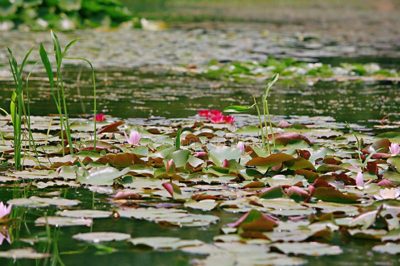 Water lilies. Water lily, perennial aquatic plant. A family of angiosperm, dicotyledonous, and water lily, belonging to the genus nilodon. Because the plants of royalty free stock image