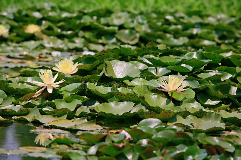 Water lilies. Water lily, perennial aquatic plant. A family of angiosperm, dicotyledonous, and water lily, belonging to the genus nilodon. Because the plants of stock photos